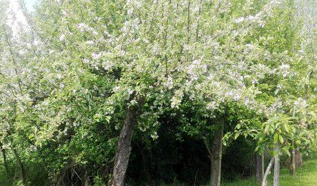 Apfel- und Kirschblüte